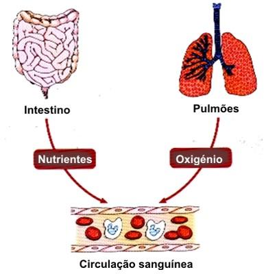 nutrientes oxigénio sangue